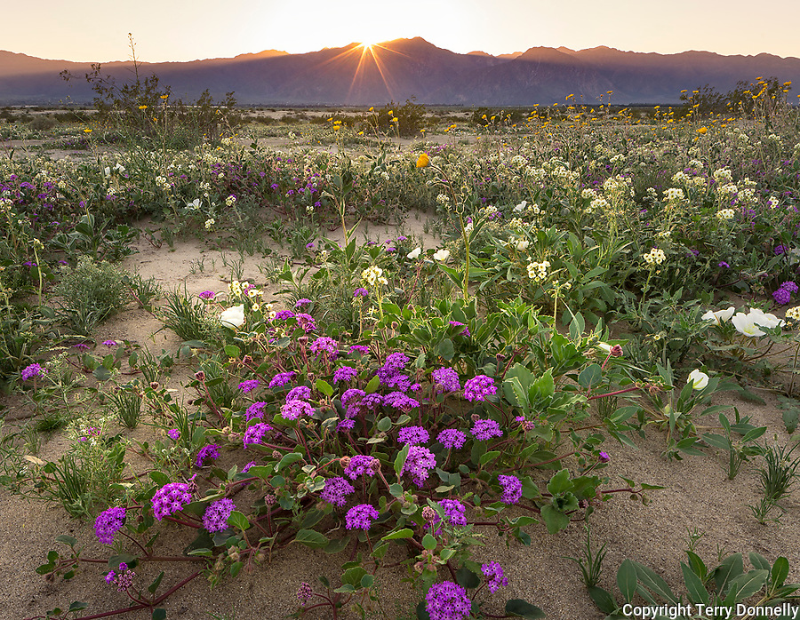 Anza-Borrego Desert State Park, CA:  A field of desert wildflowers featuring dune evening primrose (Oenothera deltoides), desert sand verbena (Abronia villosa), brown-eyed primrose (Camissonia claviformis) and desert sunflower (Geraea canescens) in Borrego Valley at sunset
