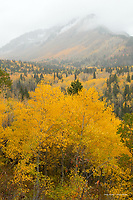 Aspens in the Wasatch Mountains, Utah