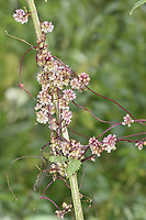 Greater Dodder - Cuscuta europaea - a parasite of Common Nettle Urtica dioica