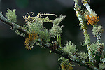 Katydid camouflaged on moss and lichen-covered cloud forest branch, Costa Rica