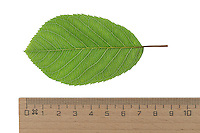 Kupfer-Felsenbirne, Kupferfelsenbirne, Felsenbirne, Korinthenbaum, Amelanchier lamarckii, Juneberry, Serviceberry, shadbush. Blatt, Blätter, leaf, leaves