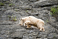 Mountain Goat, Banff National Park, Canada