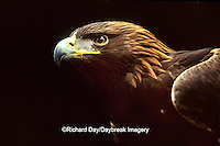 00788-00112 Golden eagle (Aquila chrysaetos)    OR