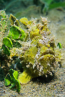 Green Painted Frogfish (Antennarius pictus) beside alga, camouflaged, sand, sea bottom, Gangga Island, Bangka Islands, North Sulawesi, Indonesia, Molucca Sea, Pacific Ocean, Asia