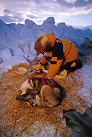 An Iditarod musher massages his sled dog at a check point. Alaska.