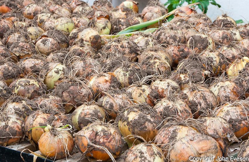 Onions drying in a greenhouse, Middle Claydon, near Buckingham, Buckinghamshire