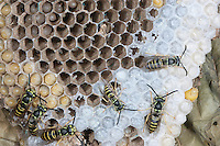 Eastern Yellowjacket nest; Vespula maculifrons, nest with all life stages; egg, larva, pupa, adult PA, Philadelphia