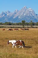 Horses, Jackson Hole, Wyoming