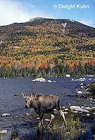 MS05-050z  Moose - cow (female) feeding at Sandy Stream Pond in Baxter State Park, Maine - Mt. Katahdin in view - Alces alces.