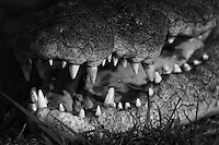 Close-up of a Nile Crocodile's jaw