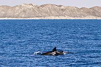 killer whale, or orca, Orcinus orca, mother, calf, Cabo Corso, Baja California Sur, Mexico, Pacific Ocean