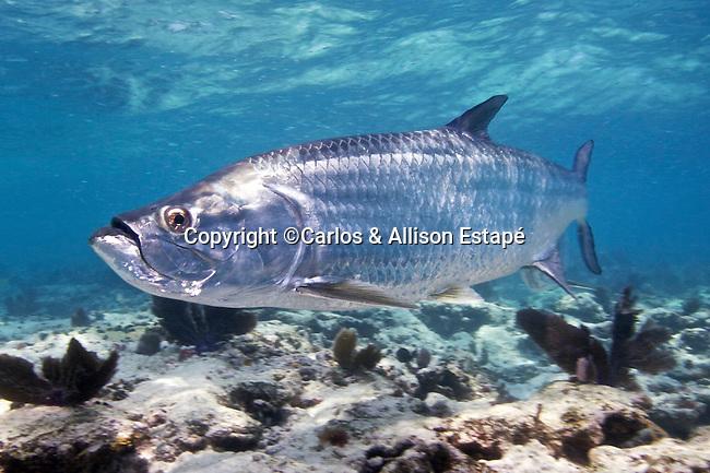 Megalops atlanticus, Tarpon, FL Keys