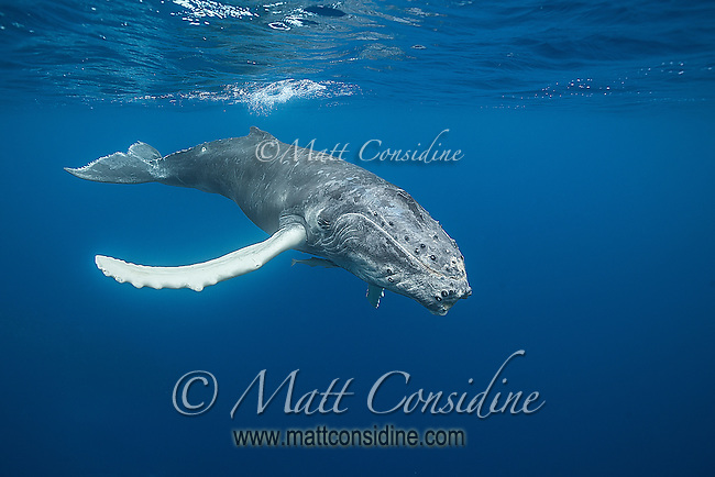 Humpback whale diving. (Photo by Underwater Photographer Matt Considine)