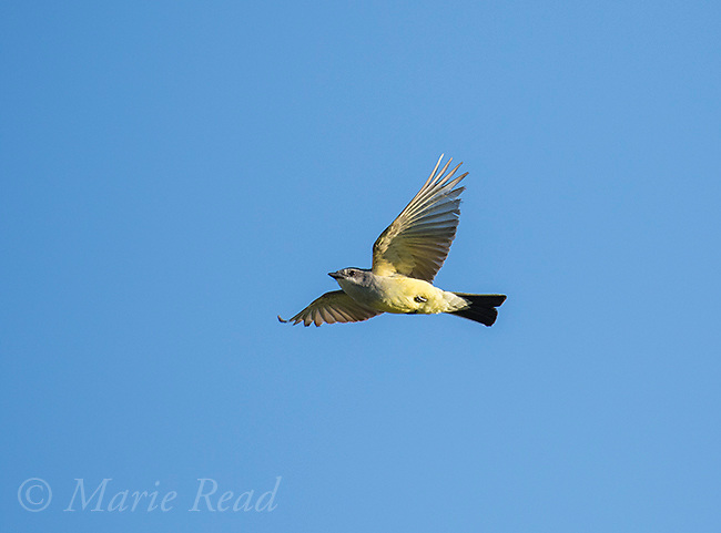 Western Kingbird (Tyrannus verticalis) adult in flight, Bowdoin National Wildlife Refuge, Montana, USA