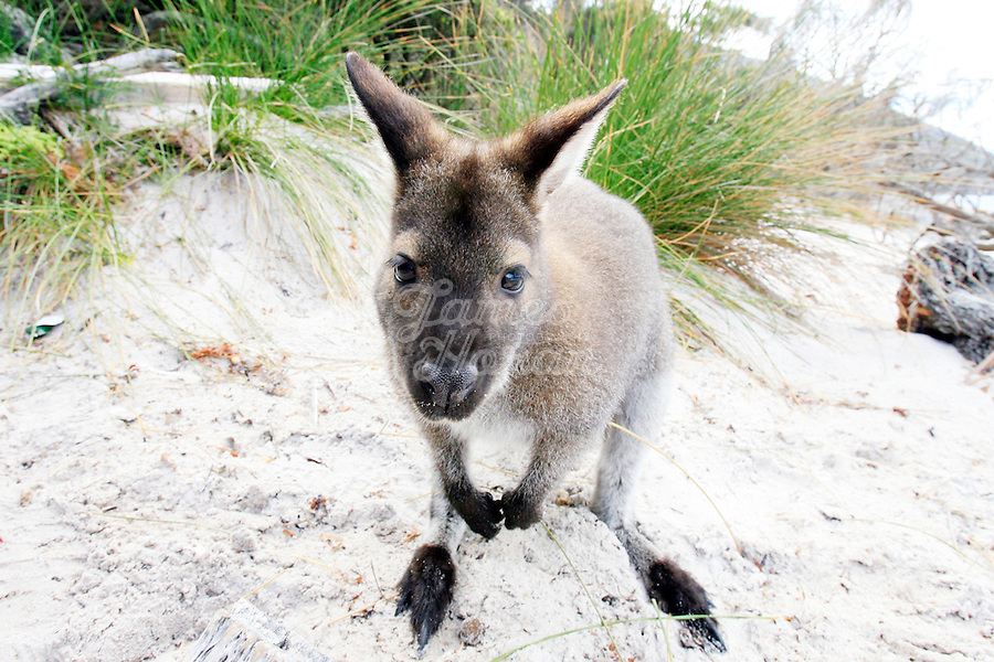 A Bennett's Wallaby sits on the beach at Wineglass bay,Freycinet National Park Tasmania, Australia..Picture James Horan