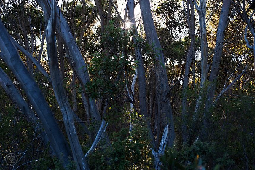 Early morning sun comes through the mallee bush on Kangaroo Island, South Australia.