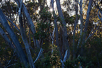 Early morning sun comes through the mallee bush on Kangaroo Island, South Australia.