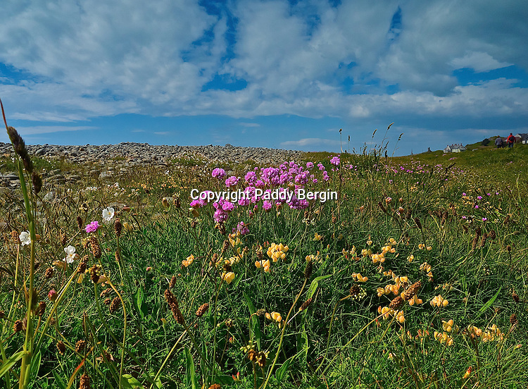 Sea Thrift growing amongst the stones and pebbles of the beach near Aberystwyth, West Wales.<br /> <br /> Stock Photo by Paddy Bergin