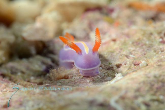 Three lined pectenodoris , nudibranch Anilao