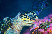 hawksbill sea turtle, Eretmochelys imbricata, feeds on softcoral, Puerto Galera, Mindoro, Philippines, Indo-Pacific Ocean