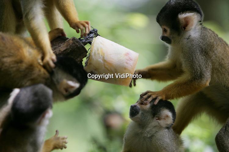 Foto: VidiPhoto..APELDOORN - Gevecht om een hapje vruchtenijs maandag, een nieuw alledaagse tractatie. Het Apeldoornse apenpark de Apenheul heeft zijn eigen record gebroken en heeft te maken met de grootste geboortegolf ooit. Door de geboorte van 31 baby's is de groep doodshoofdaapjes groter dan ooit tevoren. In totaal lopen, klimmen en ravotten er inmiddels 147 van deze aapjes vrij tussen de bezoekers. Nergens ter wereld leven er zoveel doodshoofdaapjes in een dierentuin samen.