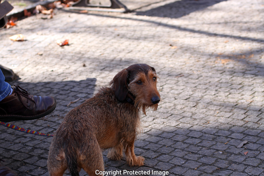 Wire haired dachshund standing next to it's owner, turning it's head towards the camera.