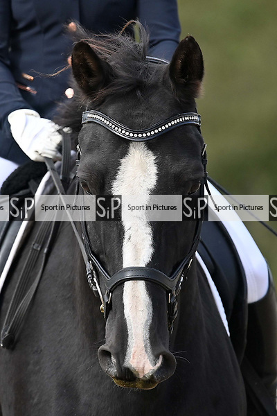 Stapleford Abbotts. United Kingdom. 05 October 2019. Class 5. Unaffiliated dressage championships. Brook Farm training centre. Essex. UK.~ 05/10/2019.  MANDATORY Credit Garry Bowden/SIPPA - NO UNAUTHORISED USE - 07837 394578