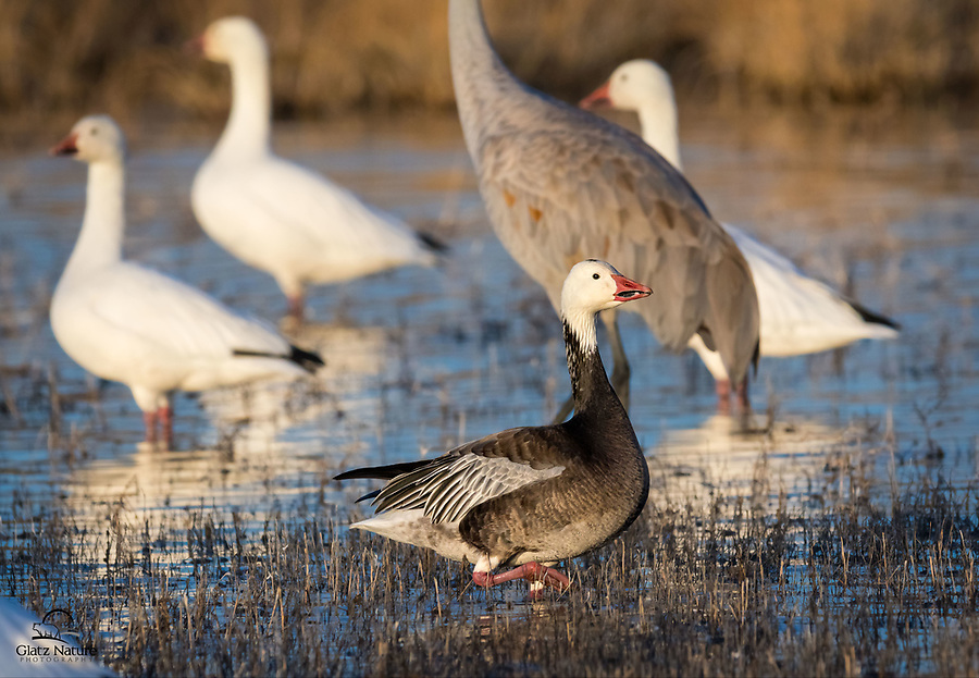 """Snow Goose (Chen caerulescens), """"blue"""" morph, goes against the current of other birds. Bosque del Apache National Wildlife Refuge, New Mexico."""