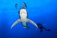 Óceanic whitetip shark, Carcharhinus longimanus, ,Vulnerable endangered species, Weisspitzenhochsee Hai, pilot fish (Naucrates ductor), diver, underwater, photographer, Brother Island, Egypt, Red Sea