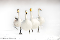 Whooper Swan Charge