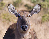 Waterbuck doe, Kruger, South Africa