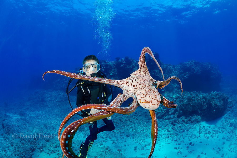 11 year old, PADI certified Junior Open Water Diver, Sean Fleetham (MR), gets his first look at a day octopus, Octopus cyanea, Maui, Hawaii.