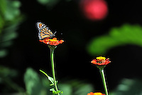 NWA Democrat-Gazette/MICHAEL WOODS • @NWAMICHAELW<br /> Butterflies feast on the flowers around the Fayetteville square Wednesday, September 16, 2015.