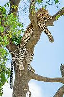 African leopard, Panthera pardus pardus, resting on tree, Masai Mara, Kenya, Africa