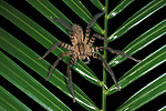 Huntsman Spider, Heteropoda, on palm leaf, Belize