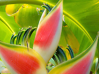 Heliconia, Lobster Claw<br /> Vieques<br /> Puerto Rico