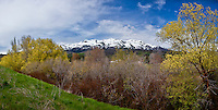 With the Wasatch Mountains in the background, trees, possibly peachleaf willows, come to life along the Weber River near Ogden, Utah.