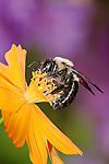A Carpenter Bee On An Orange Flower with Purple Background, Xylocopa micans