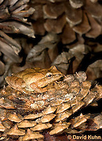 0302-0923  Spring Peeper Frog on Fallen Pine Cones, Pseudacris crucifer (formerly: Hyla crucifer)  © David Kuhn/Dwight Kuhn Photography