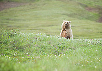 July 3, 2012, Grizzly Bear, Denali National Park and Preserve, Alaska, United States