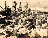 Ocean Leather processing sharks on Wisteria Island off Key West in the 1930s. Heritage House Collection, Campbell, Poirier Pound.