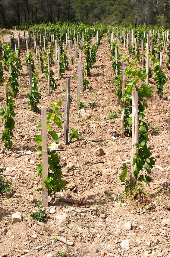 Domaine Clos Marie. Pic St Loup. Languedoc. Carignan grape vine variety. Calcaire ebouilli, calcareous compacted soil type. Terroir soil. France. Europe. Vineyard. Calcareous limestone.