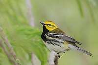 Black-throated Green Warbler, Dendroica virens, male, South Padre Island, Texas, USA, May 2005