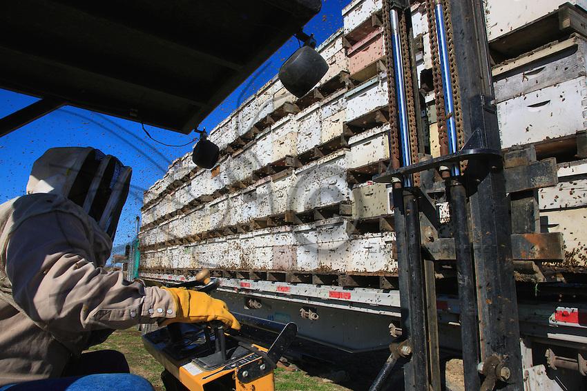 Unloading hundreds of hives.