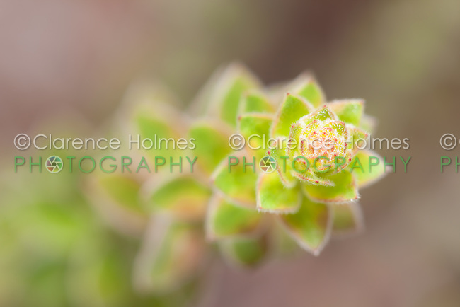 A close-up of a Nodding Pinweed (Lechea cernua) plant.