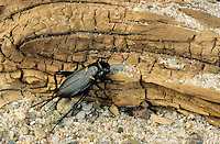 Mittelmeer-Feldgrille, Mittelmeergrille, Zweifleckgrille, Weibchen, Gryllus bimaculatus, African field cricket, Mediterranean field cricket, two-spotted cricket, female