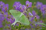 Luna Moth (Actias luna) on wild geranium