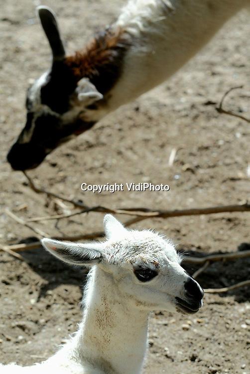 Foto: VidiPhoto..ARNHEM - Babyboom bij de lama's in Burgers Zoo. De afgelopen week hebben maar liefst vier van de vijf lama's van Burgers' Zoo een jong gekregen. De vader van de jongen heeft het allemaal niet meer mogen meemaken, want hij heeft er vorig jaar alleen maar een maandje gelogeerd. Een vruchtbare logeerpartij dus.