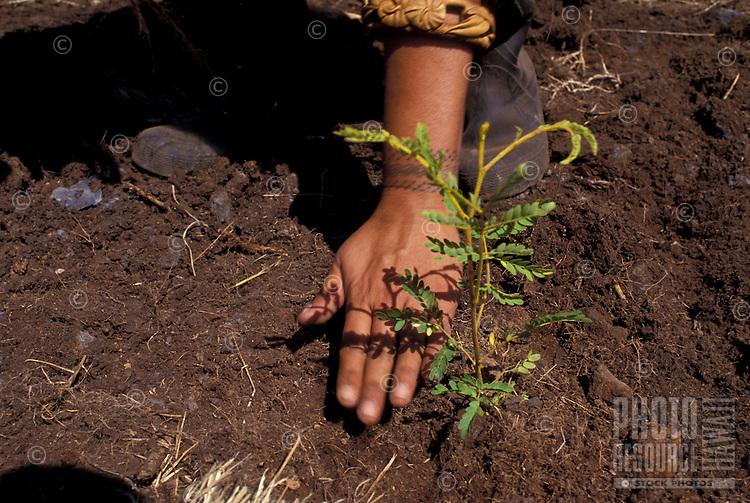 Young person planting koa tree seedling