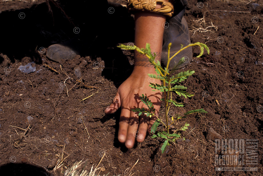 Young person planting koa tree seedling